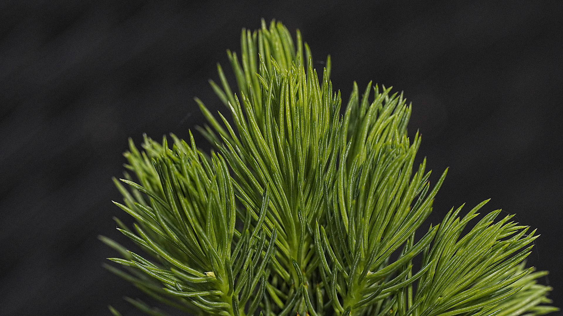 Ganz junge Fichtentriebe (Picea glauca var. albertiana 'Conica')