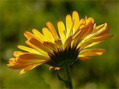 Ganzjährig blühen bei uns jetzt die Ringelblumen.
