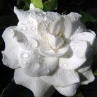 Gardenia en la mañana