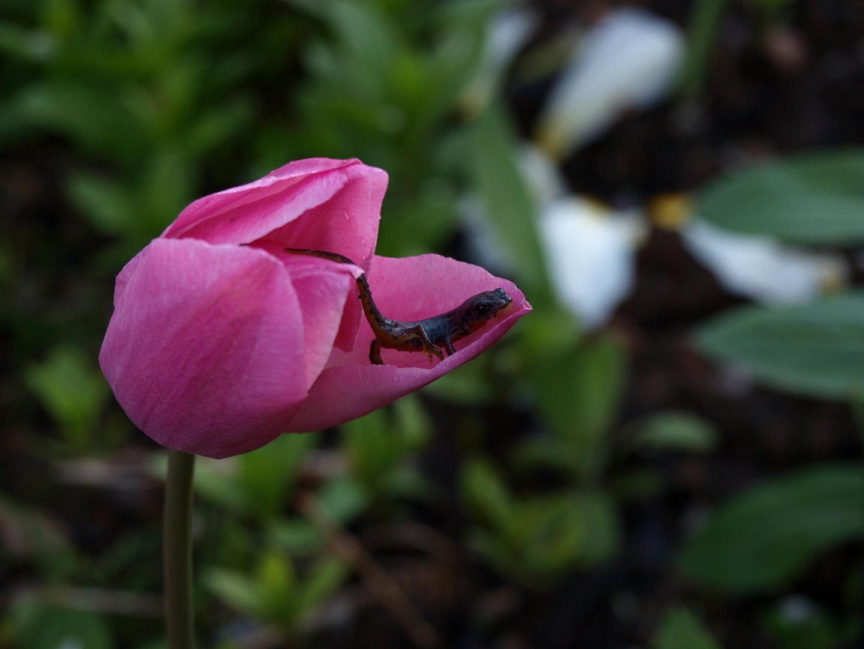 Garten, Abend, Tulpe