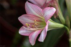 Garten-Amaryllis