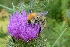 Garten-Blattschneiderbiene