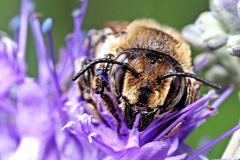Garten-Blattschneiderbiene (Megachile willughbiella)