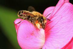 Garten-Blattschneiderbiene (Megachile willughbiella) - Männchen