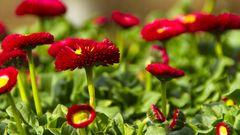 Garten-Gänseblümchen (Bellis perennis)