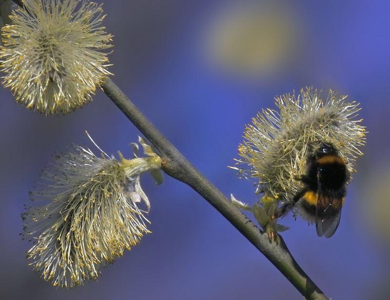 Garten-Hummel auf Saalweidenblüte