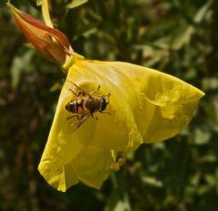 Garten-Keilfleckschwebfliege auf einer Nachtkerze