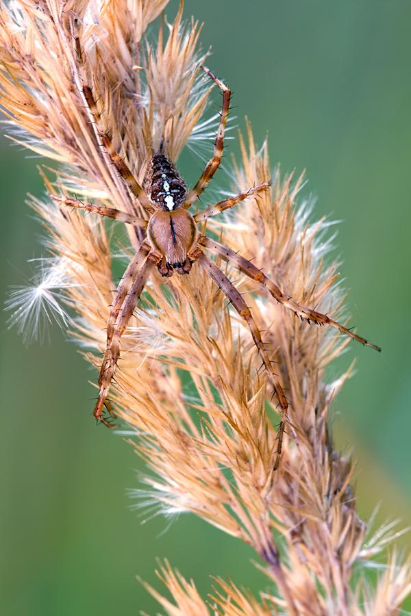 Garten-Kreuzspinne (Araneus diadematus)