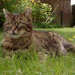 Garten-Tiger