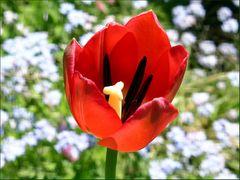Garten-Tulpe vor Wildblumen