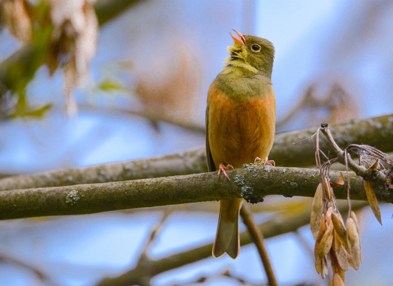 kleiner gelblicher singvogel