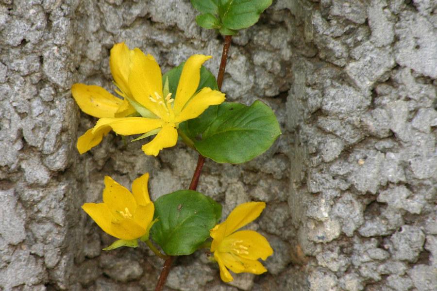 Gartenblume II