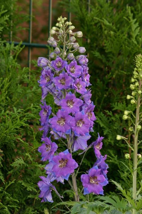 Gartenblume III