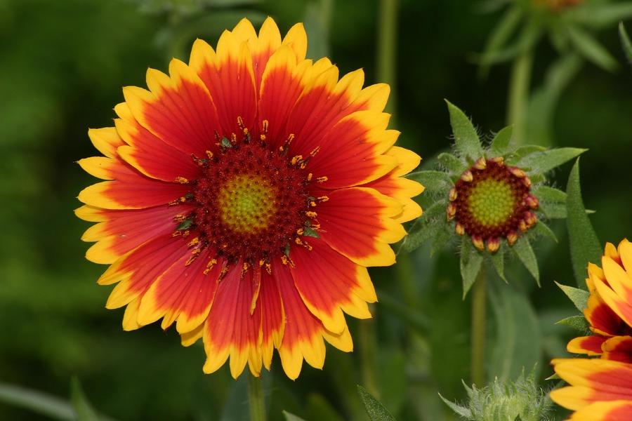 Gartenblume IV