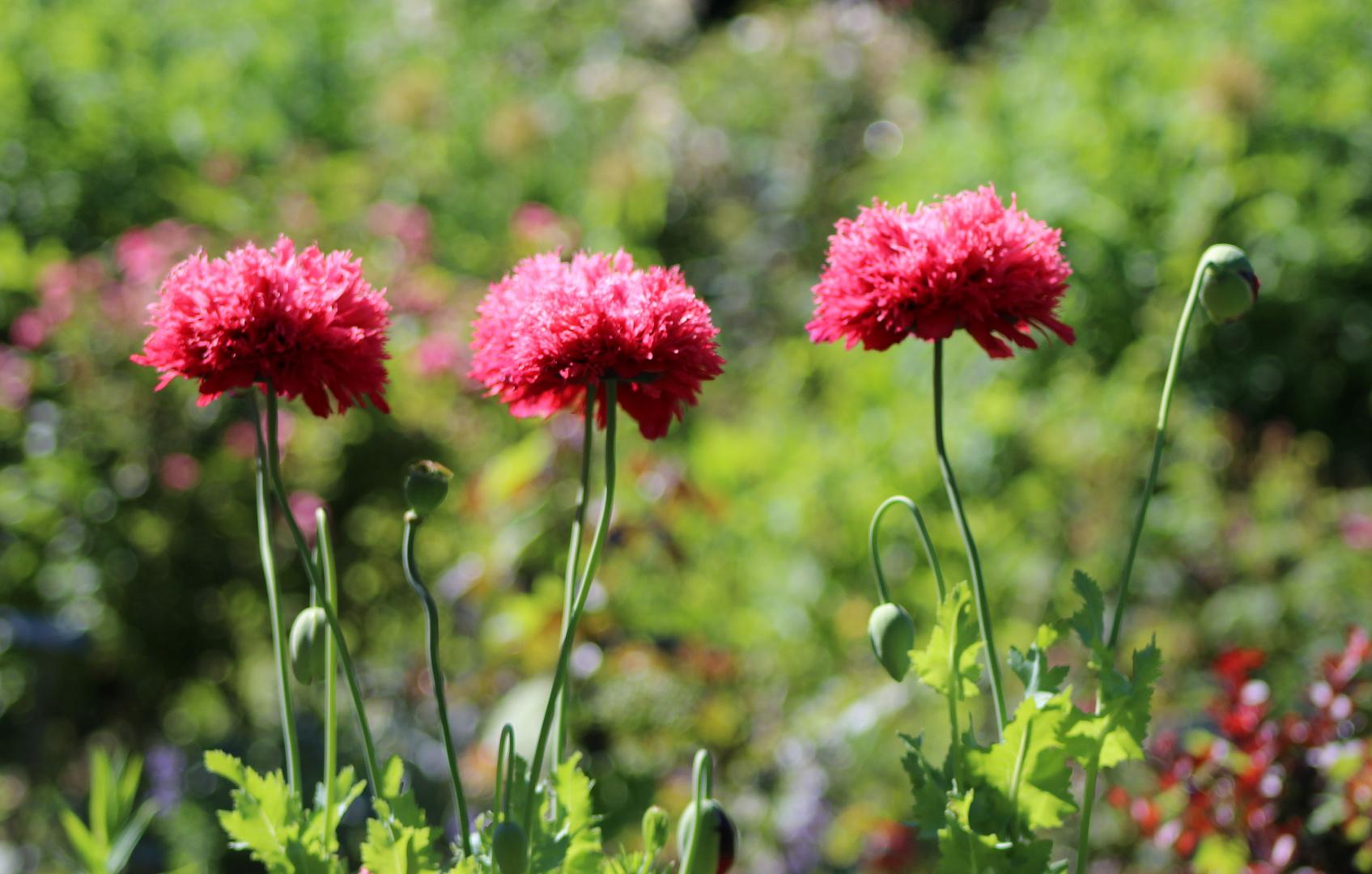 gartenblumen im juni foto bild natur blumen pflanzen. Black Bedroom Furniture Sets. Home Design Ideas