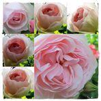 Garten,,Eden-Rose,,