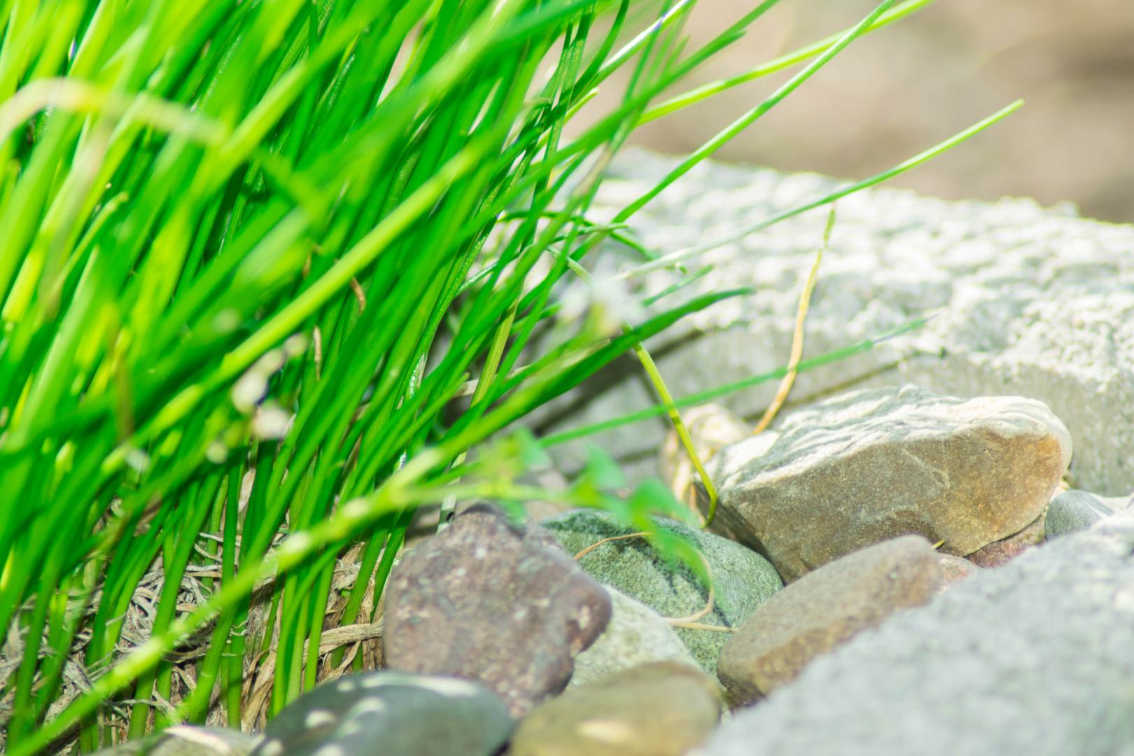 Gartengras 1