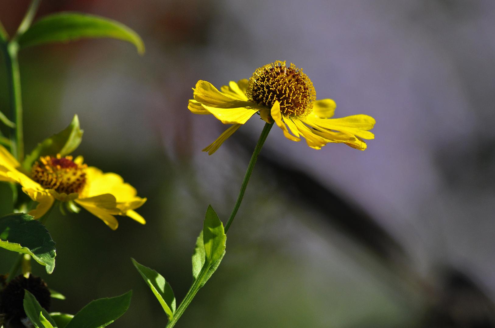 Gartenimpressionen (Sonnenhut)