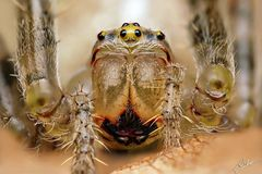 Gartenkreuzspinne / Weibchen (Araneus diadematus)