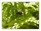 Gartenlaubkäfer oder auch Junikäfer