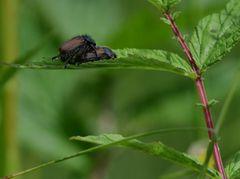Gartenlaubkäfer / Phyllopertha horticola