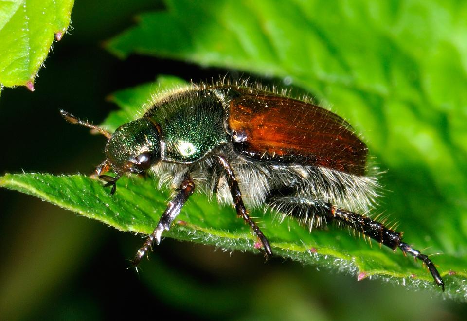 Gartenlaubkäfer (Phyllopertha horticola)