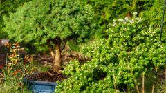 Gartenminiaturen Bonsai Größen