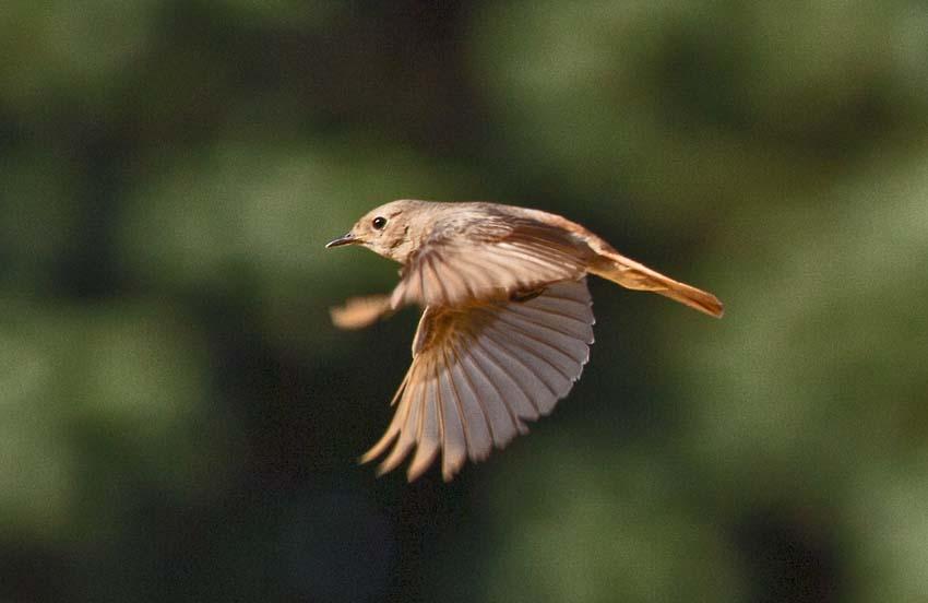 Gartenrotschwanz im Flug