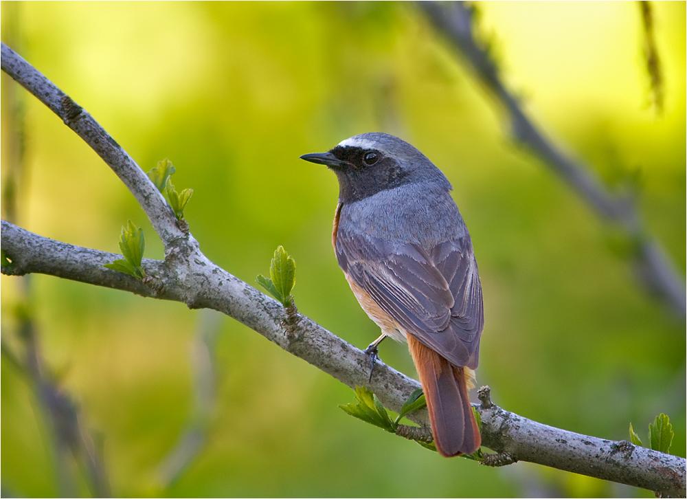 Gartenrotschwanz - Vogel des Jahres 2011.