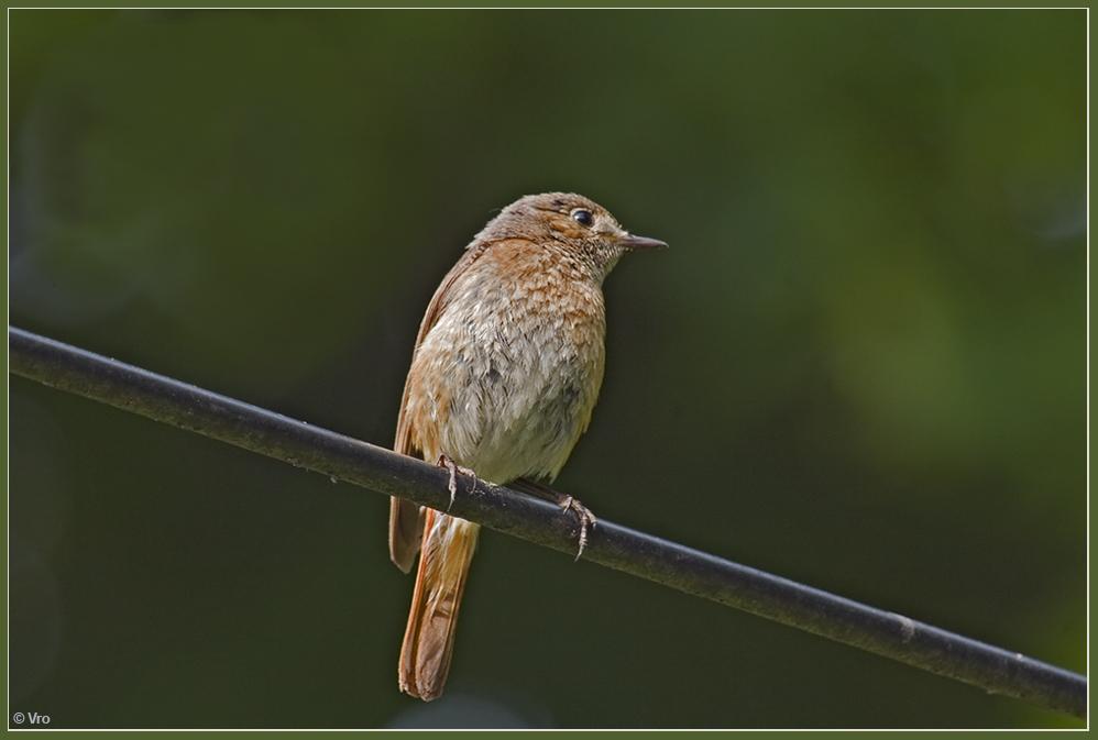 Gartenrotschwanz - Weibchen