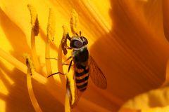 Gartenschwebfliege auf gelber Blüte