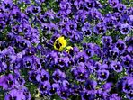 Gartenstiefmütterchen (Viola × wittrockiana)