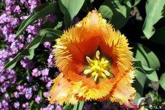 Gartentulpe, (Crispa Lambada)