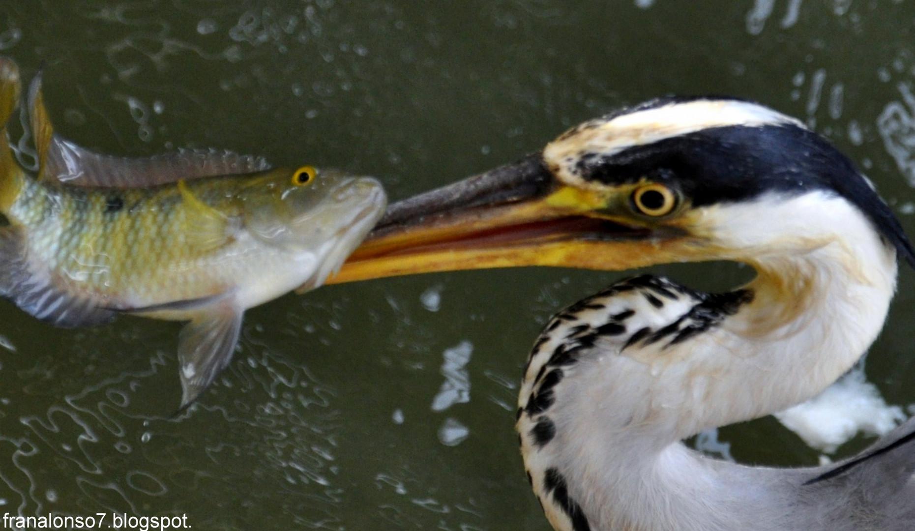 Garza Real cazando peces