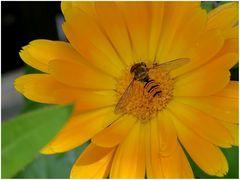 Gast in der Ringelblume