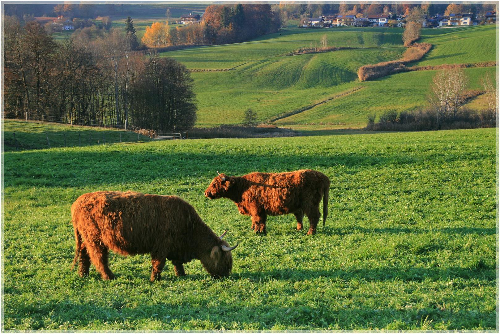 Gastarbeiter Kühe?