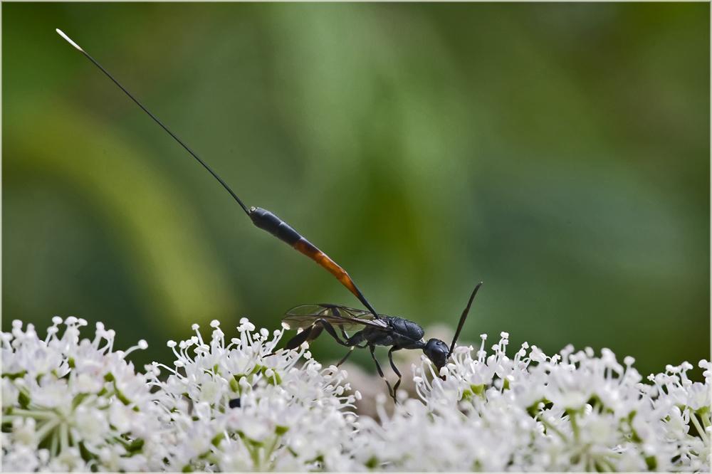 Gasteruption jaculator femelle