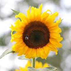 Gastfreundliche Sonnenblume