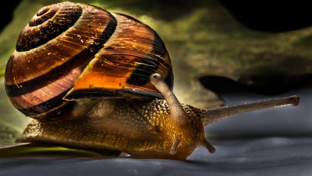 Gastropoda ....