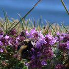 Gathering Pollen, Fort George, Scotland