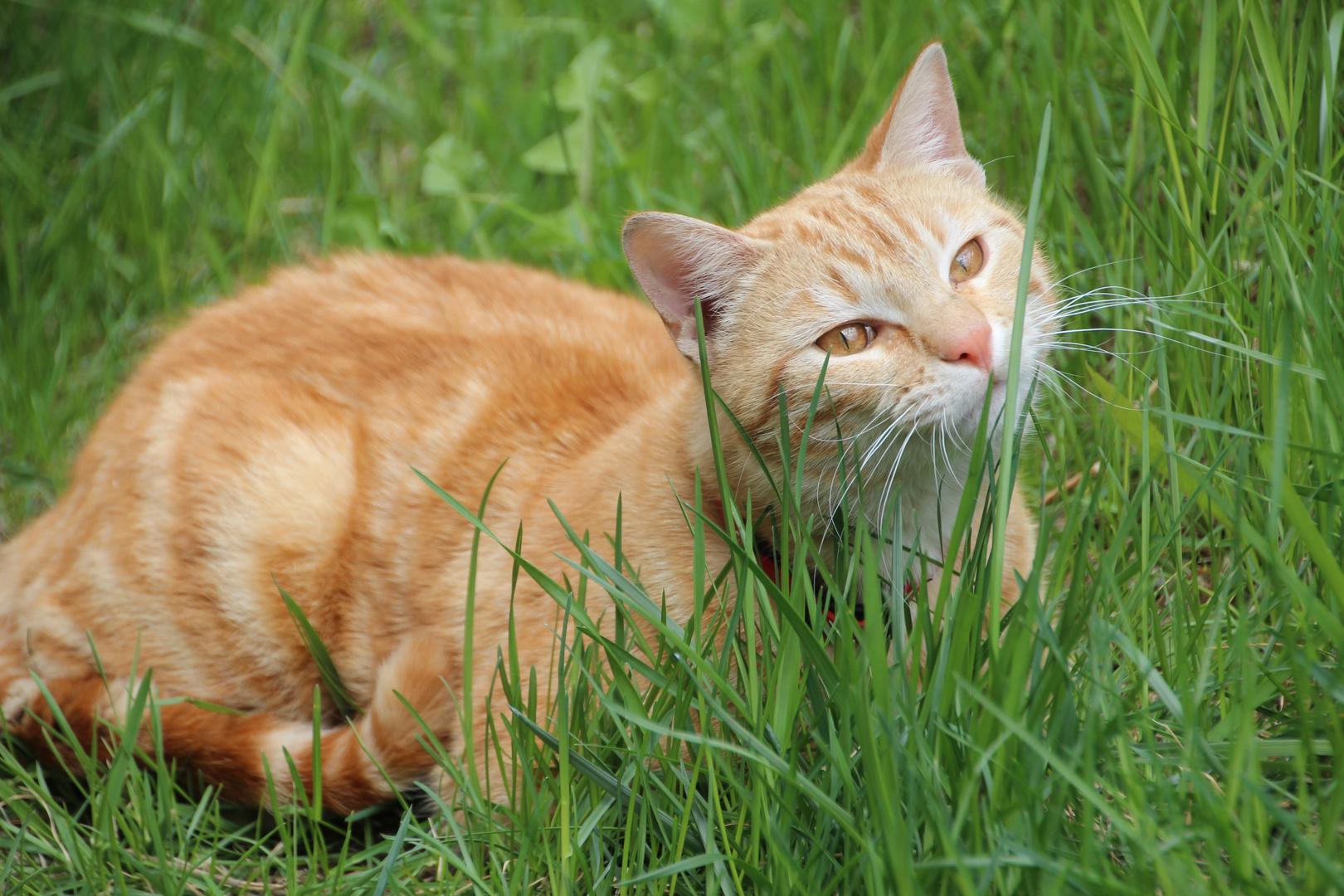 gato francés