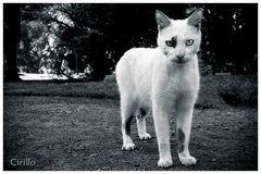 Gato IV