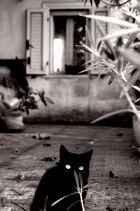 gatti neri
