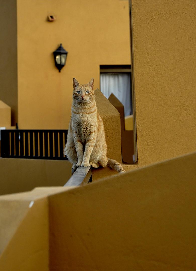 Gatto Canario