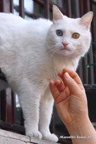 gatto oculobicolore......................