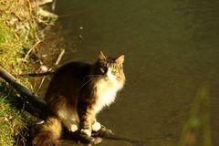 Gatto pescatore.