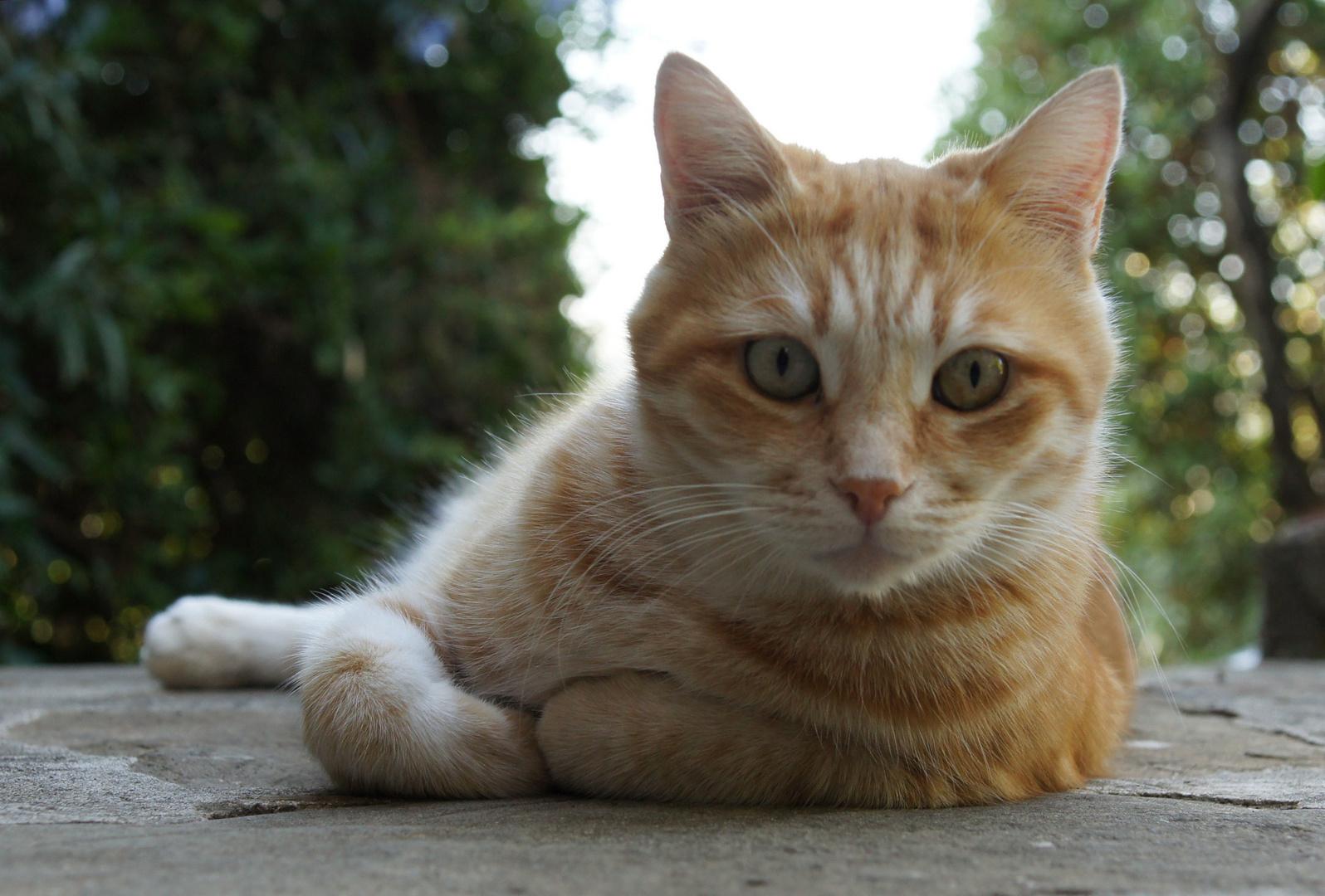 Gatto Rosso 1