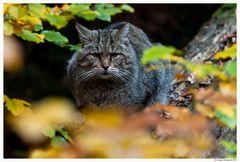 Gatto selvatico 2