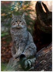 Gatto selvatico 3