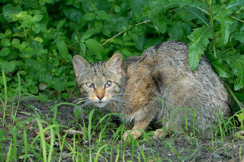 Gatto selvatico con preda